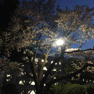 写真 桜②