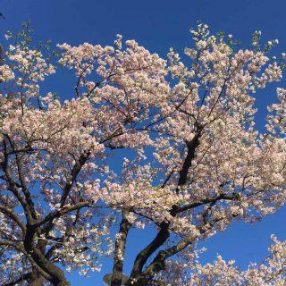 写真 桜①
